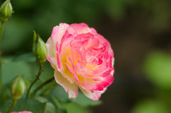 Roses roses et blanches Images stock