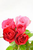 Roses roses et rouges d'isolement Images libres de droits