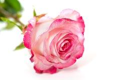 Roses roses fraîches sur le blanc Photos libres de droits