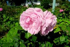 2 roses roses gentilles sur l'arbre Photographie stock libre de droits