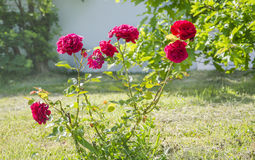 Roses roses lumineuses Images libres de droits