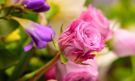 Roses roses, printemps Photo stock