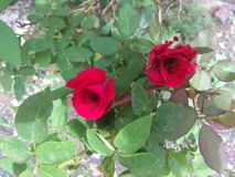 Red roses with leaves stock image