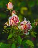 roses Roses rouges Fermez-vous sur les roses rouges Images libres de droits