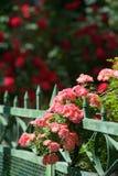 Roses roses s'élevant sur la barrière Photographie stock libre de droits