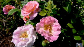 Roses roses se déplaçant le vent avec une abeille clips vidéos