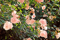 Roses roses sensibles sur le buisson Photo libre de droits