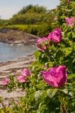 Roses roses sur la côte Image libre de droits