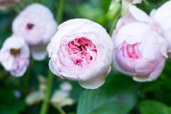 Roses roses sur un buisson Photo stock
