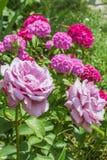 Roses roses sur un fond de fleurir doux-William, plan rapproché photo libre de droits
