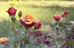 roses Rouge-jaunes sur un buisson en parc Photos libres de droits