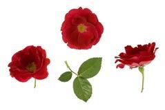 Roses rouges Photo libre de droits