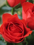 Roses rouges Photographie stock libre de droits