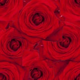 Roses rouges Photographie stock