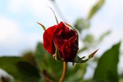 Roses rouges au soleil La tendresse des roses blur Arbre dans le domaine photographie stock