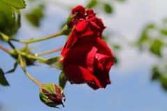 Roses rouges au soleil La tendresse des roses blur Arbre dans le domaine photo stock