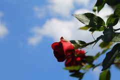 Roses rouges au soleil La tendresse des roses blur Arbre dans le domaine images libres de droits