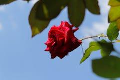 Roses rouges au soleil La tendresse des roses blur Arbre dans le domaine photographie stock libre de droits