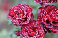 Roses rouges avec des baisses de pluie Image libre de droits