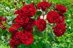 Roses rouges avec des bourgeons Image stock