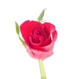 Roses rouges avec la baisse de l'eau Image libre de droits