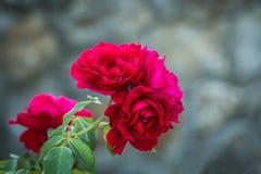 Roses rouges avec le fond brouillé Images stock