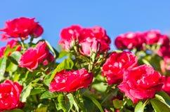 Roses rouges contre le ciel bleu, fond de fête Photographie stock libre de droits