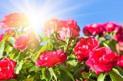 Roses rouges contre le ciel bleu, fond de fête Image libre de droits