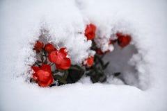 Roses rouges couvertes de plan rapproché de neige Photo stock