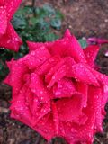 Roses rouges d'Ooty photographie stock