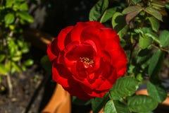 Roses rouges dans des pots de fleur, l'amour de concept, Valentine& x27 ; coeur de s Photo libre de droits