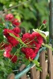 Roses rouges dans la fin de jardin  Fermez-vous des roses s'élevantes rouges fraîches dans le jardin Images libres de droits