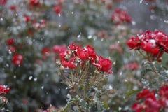 Roses rouges dans la neige Image libre de droits