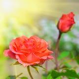 Roses rouges dans le jardin au jour d'été Photographie stock