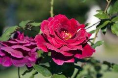 Roses rouges dans les jardins botaniques Photos libres de droits