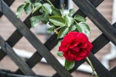 Roses rouges de valentine d'amour de plan rapproché romantique de détail dans le jardin Images stock