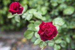 Roses rouges de valentine d'amour de plan rapproché romantique de détail dans le jardin Photo stock