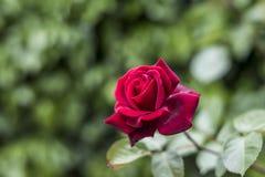 Roses rouges de valentine d'amour de plan rapproché romantique de détail dans le jardin Images libres de droits