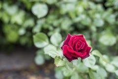 Roses rouges de valentine d'amour de plan rapproché romantique de détail dans le jardin Photos stock