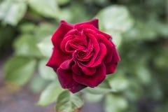 Roses rouges de valentine d'amour de plan rapproché romantique de détail dans le jardin Photo libre de droits