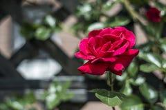 Roses rouges de valentine d'amour de plan rapproché romantique de détail dans le jardin Photographie stock