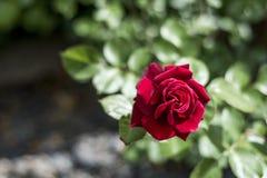 Roses rouges de valentine d'amour de plan rapproché romantique de détail dans le jardin Image stock
