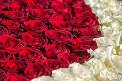 Roses rouges et blanches Photographie stock libre de droits