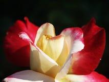 Roses rouges et jaunes Photographie stock libre de droits