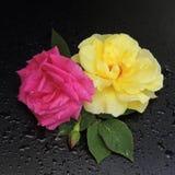 Roses rouges et jaunes avec des baisses de rosée sur un fond noir Images libres de droits