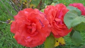 Roses rouges et lames de vert Photo libre de droits