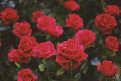 Roses rouges fleurissant dans le jardin pour le fond ou la texture, jour du ` s de Valentine photo libre de droits