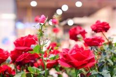 Roses rouges fleurissant dans le jardin pour le fond ou la texture, jour du ` s de Valentine images stock