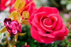 Roses rouges fleurissant dans le jardin pour le fond ou la texture, jour du ` s de Valentine photos libres de droits
