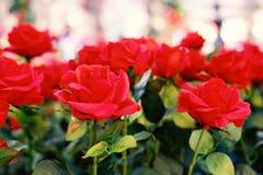Roses rouges fleurissant dans le jardin pour le fond ou le textu de vintage photos stock